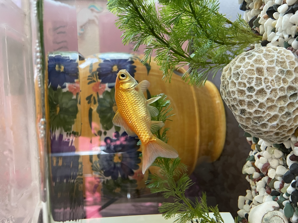金魚に詳しい方アドバンスください。 一匹飼いです。最近なんだか調子が悪いかもです。 ここ1週間、慌ただしく泳いだり、背鰭を倒したり、底に沈んでゆっくりしたり、また泳いだりを繰り返し、 今朝 金...