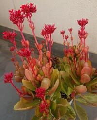 画像の植物の名前(多肉?)を教えてください! 植えた記憶がないのですが、すくすく育っている植物が我が家にあります。最初は小さく、葉だけで緑だったのですが、どんどん(小株?)増え、さらに上部が赤くなり、...