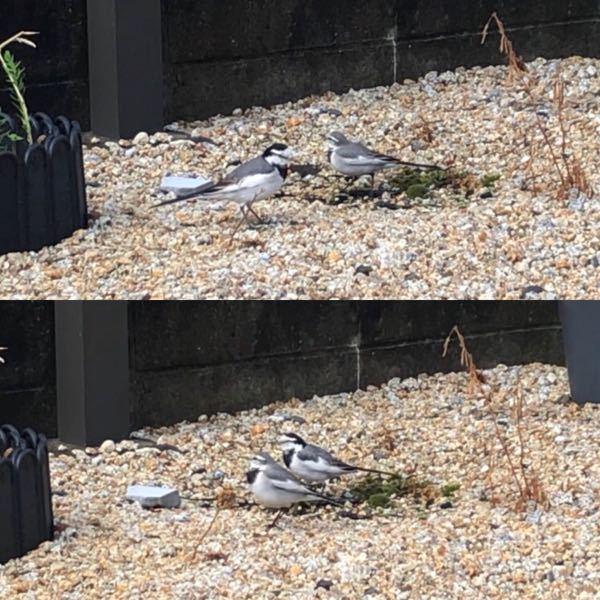 お庭の餌場にハクセキレイが来ました。 写真の二羽はハクセキレイの オスとメス で間違いないでしょうか? もしオスとメス だった場合、メス が遠慮してオスに餌を譲るような事はありますか? カワ...
