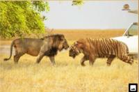 最大級個体同士のライオンとトラの闘いは結局はほぼ互角ですかね?
