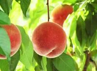 桃は好きですか?  ふくよか美人は好きですか? (桃の品種です)  ふくよかな肉質・甘味を持つ旨味極めた桃です。