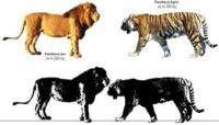最大級個体同士のライオン対トラならばどの様な勝負になりますか?