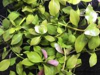 こちらの水草の名前がわかる方がいらっしゃいましたら教えていただきたいです。 こちらの水草は、先日パウパウアクアガーデン銀座店で流木と一緒になって売られていたものを購入いたしました。初心者でも育てられる丈夫な水草ということくらいしか分からず、名前がわかりません。