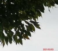 葉っぱの先が糸のように細い木の名前を教えてください、 岐阜県米田白山で、 撮影20210203