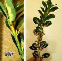 この斑入りの葉を持つ木の名前を教えて下さい。