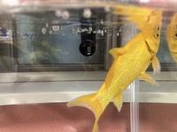 金魚の背びれの出来物?  4年くらい飼っている金魚の背びれに出来物のようなものがあるのに気がつきました。  これは何でしょうか?