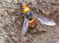 庭の植木鉢の中でじっとして動かなかったので、死んでいるかと思い箸でつまんでみたらまだ生きていたので速攻で殺して庭に埋めたのですが、 これはキイロスズメバチの女王バチでしたか?5㎝以上はありました。 放っておいたら近くに巣を作られる可能性がありましたか。 こちらの今日の気温は15、16度ありましたから危ないところでしたよね。