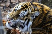 最大最強個体のライオンとトラを同時に相手取って勝てる肉食獣類は最強個体のアラスカヒグマとホッキョクグマだけですか?