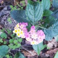 この花は雑草ですか?良い雑草か、悪い雑草かも知りたいです。 隣の人が嫌がらせなのか、前回はツル系のアサガオみたいなのを植えられてて、知り合いの花屋さんに見せたらそんなの、家庭菜園に植えるものじゃないよって、笑われました。大事なマンジェリコンにもいっぱい巻き付いていて、必死で引っこ抜きました。しばらくして、いんげんが枯れたようなのが、1ヶ所に散らばってたのを拾ってたら種が、ポロポロ落ちながらも...