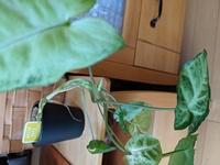 この子成長しすぎて?こんな事になっちゃいました(T_T)どうするのがベストですか?  観葉植物 インテリア