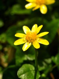 花の名前を教えてください。 2月11日に撮影。地域は徳島県。 花の背丈は10センチほど 花びらの表面は日からに照らされて ピカピカと光っているのが特徴です。 宜しくお願いします。