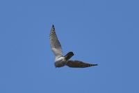 野鳥観察初心者です。都区内の大きな公園で猛禽とおぼしき鳥を見かけました。 付近を飛んでいたカラスと同じくらいの大きさであっという間に飛び去って行ってしまいました。公園内にある資料館にオオタカの写真が...