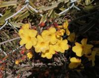 満開の黄色い花を見付けました。場所は生け垣の根本で、花の直径は1cm強です。 何と言う花かご存知の方がいらっしゃいましたらお教え下さい!