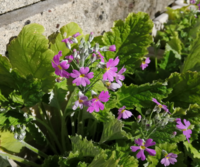 プランターに植えられた植物が花を付けています。ピンクと白の二種類が咲いており、花の直径は1cm位です。 何と言う花かご存知の方がいらっしゃいましたらお教え下さい!