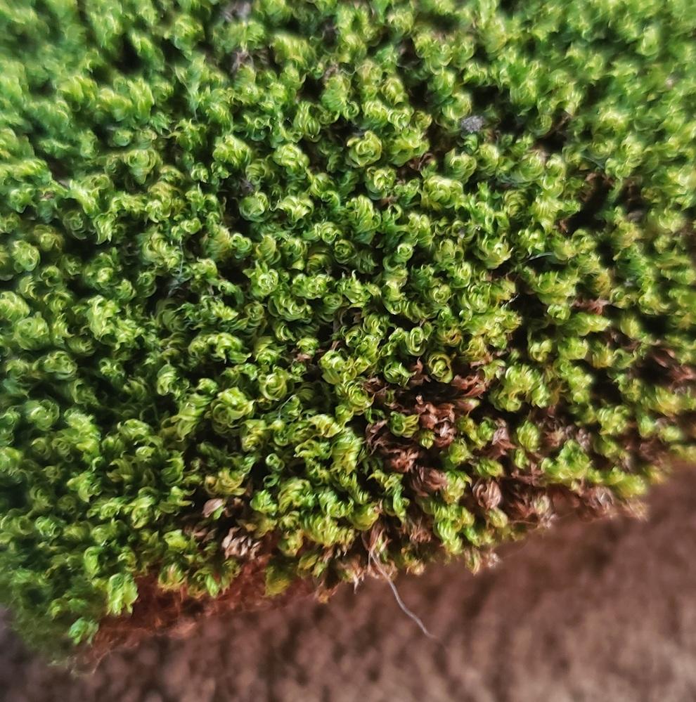 この苔の種類と、屋内での育て方が知りたいです! 詳しい方、宜しければ教えてくださいm(*_ _)m 写真撮るの下手ですみません …