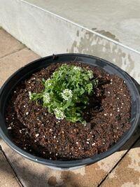 園芸初心者です。 スイートアリッサムというお花の苗を買って 鉢に軽石、花の土を入れて植え替えました。 お水は午前中に下のお皿から 水が出るくらいまでお水をあげました。 日当たりのいい場所に置いてます。  この花は毎日水をあげていいのでしょうか?? 手入れをし続ければ年中咲き続けるのでしょうか??   お手入れをしてれば花は鉢いっぱいに増えますか??