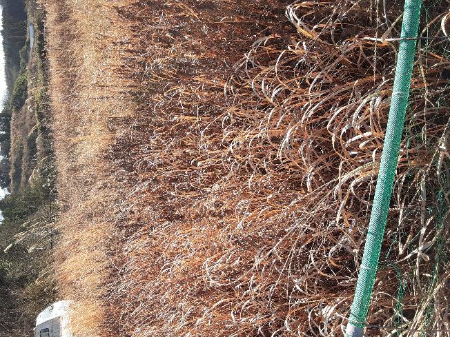 耕作放棄地があり、ススキがびっしり生えてて借りやすそうなのですけど、 これは畑にしたかったら手で抜いていくしかないのでしょうか?