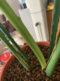 モンステラの新芽について ネットで検索したのですが、イマイチ分からなかったので教えて下さい。 写真の部分から新しく新芽は出て来るのでしょうか? ずーっとこのままで、冬だからでしょうか?