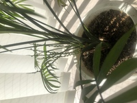 家で育てている観葉植物の茎から、明らかに本体とは別のブツブツの茎が出てきました、、 どなたかご存知の方いらっしゃいますでしょうか??