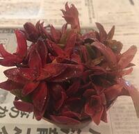 フリマサイトで多肉植物の火祭りを購入したのですが、調べてみると火祭りではなく紅葉祭りに似ているように思います。 どちらでしょうか?