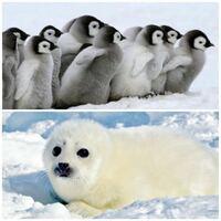 アザラシの赤ちゃんとペンギンの赤ちゃんはどちらもかわいいですが。 選ぶとしたら、どっちの方がよりかわいいと思いますか?