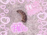 この虫ってなんですか?タンスに入ってました。 抜け殻なのでしょうか中は空洞でした。 割心地はパリパリです。 音はいい音でした。 愛着湧いたので捨てようと思ってます。