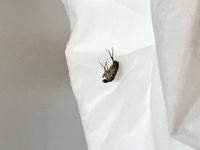コバエについて。 この虫はキイロショウジョウバエでしょうか。 ノミバエかなと思っていたのですが、写真で何の昆虫かわかるアプリでキイロショウジョウバエと出ました。  ・体長3〜6mmほど。 ・大きめのは...