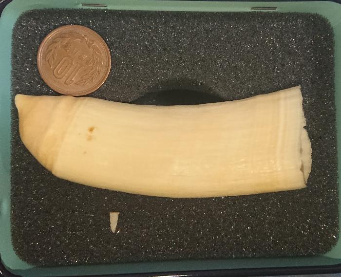 これは何の動物の牙ですか? 誰かから鯨だと聞いて譲ってもらった気がしますが…