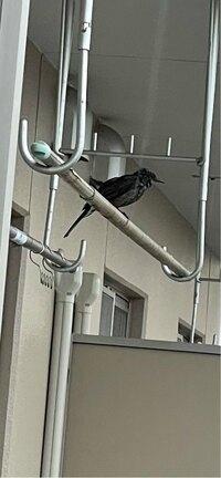 鳥に詳しい方にお聞きします。 この鳥がよくベランダに現れフンをしていくのですが、なんという鳥ですか?