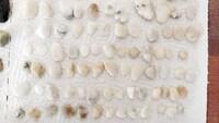 石の鑑定をお願いします。  ビーチコーミングで拾ってきた石です。 白や乳白色の石です。 これら石英ですか? 瑪瑙らしきものはありますでしょうか?