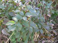 低木の名前を教えて下さい、 岐阜県米田白山で、 撮影20210222