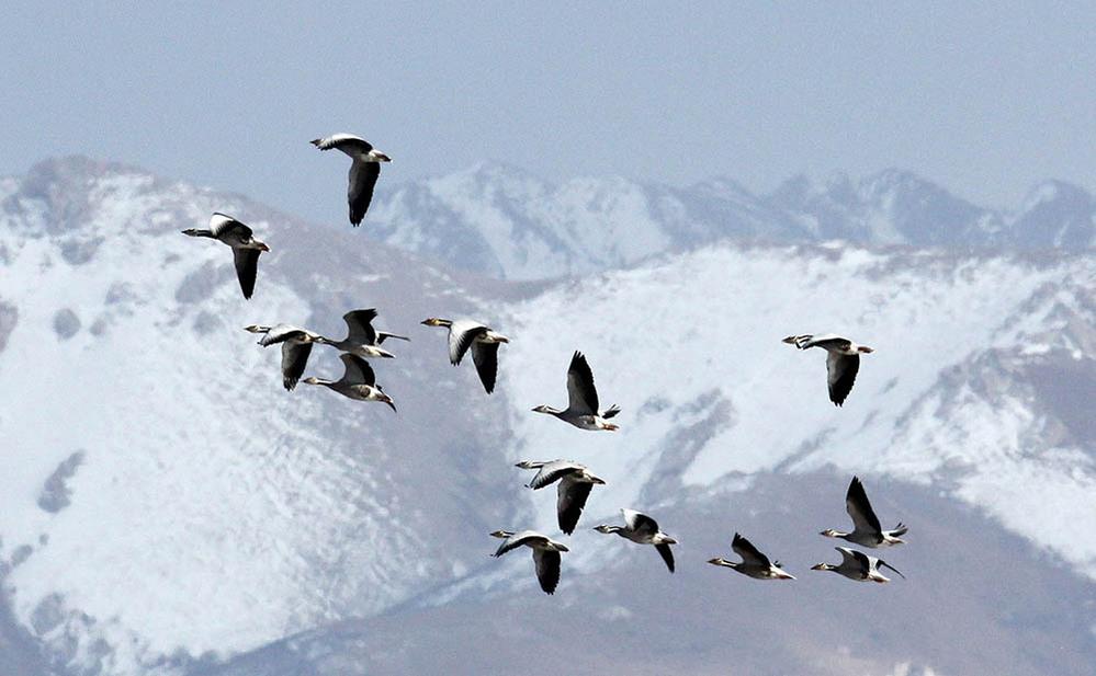 中島みゆきさんの傑作♪『India Goose』について質問です! アルバム「問題集」('14年)所収の夜会劇中曲である表題作品は【インド雁(ガン)という種類の渡り鳥たちが命を懸けて飛翔に挑むさ...