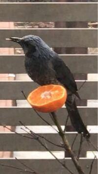 関東在住です。 この鳥は何ですか? 頭から尾の先まで20センチくらいあります。