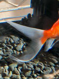 先日、同じ水槽内で白点病を発見し、健康だった金魚は全換水した水槽に入れていました。 そしたら2日後尾鰭に白点がひとつ出てしまいました。やっぱりこれは白点病ですかね? 本人は元気なのですが早めに治療し...