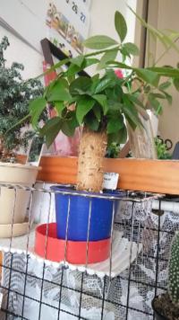 観葉植物パキラについて教えて下さい。 だんだん大きくなってきました、写真の植木鉢ではもう小さいですか、大きい植木鉢に変えるには時季と大きさを教えて下さい。