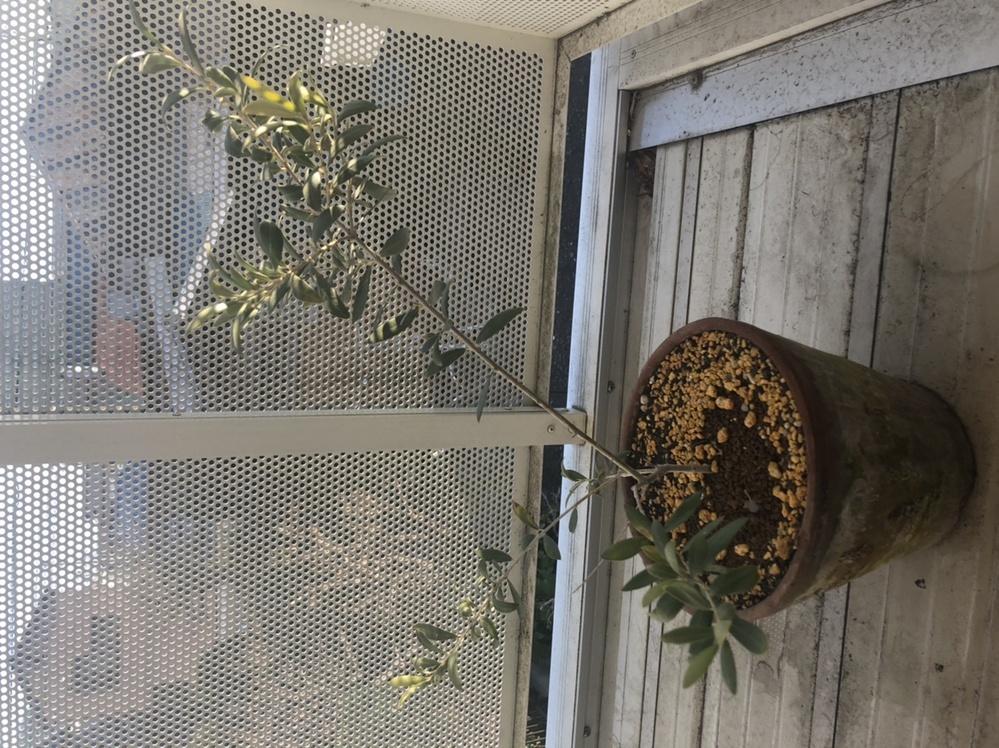 鉢植えのオリーブの木について 約1年ほど前からベランダで鉢植えのオリーブを育てています。1年前の写真と比べると大きく成長しているのが嬉しく、今後ずっと元気に成長してほしいと思っております。 しか...