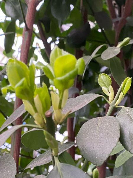 これは、新芽がほどけたのでしょうか? これから、どうなっていくのでしょうか? これは椿でしょうか? よろしくお願いいたします。