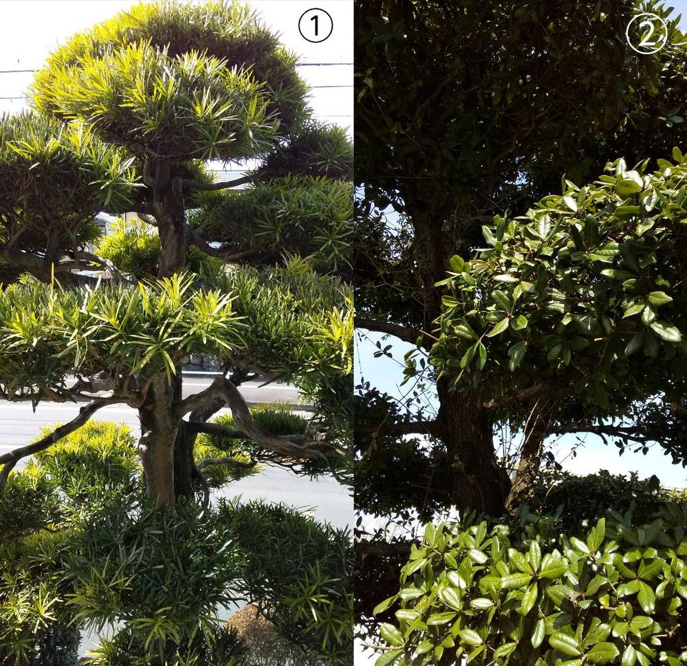 写真の①②はそれぞれ何と言う木でしょうか? 素人ですが、事情により剪定をすることになったため、少し調べたら剪定の仕方は木によるらしいと聞いたので、ここで質問させていただきました。 また、剪定の...