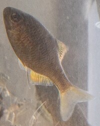 この魚はなんですか?滋賀県米原市の田んぼの用水路で捕まえました。