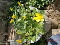 この草花の名前をお教え下さい。4~5年前、自然に生えてきました。冬の初め頃に芽を出して、今時期に黄色の花を咲かせています。 正確に覚えていませんが、暑い時期になると枯れているようです。写真はたまたま植木鉢内で毎年発芽して花を咲かせていますが、付近の庭の路地にも生えています。画像の添付技術が悪く、写真が横向きになって、縦になりません。よろしくお願いいたします。