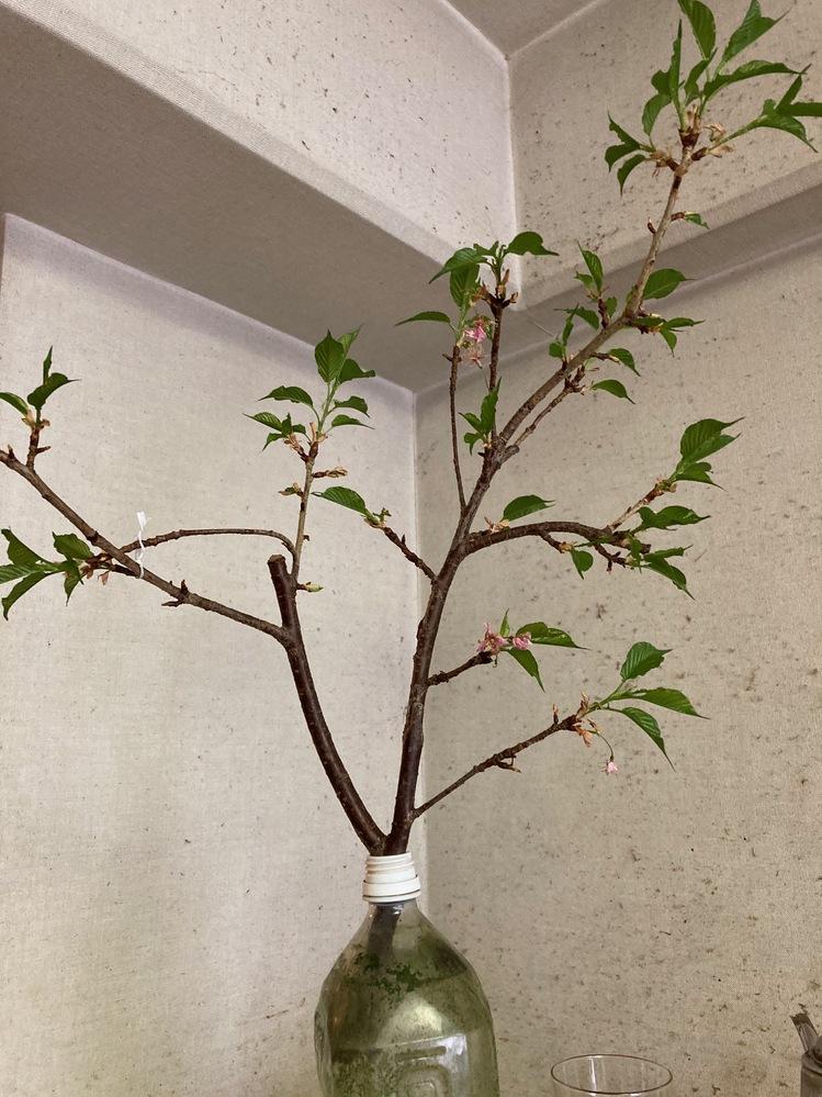 河津さくらの枝を頂き、ペットボトルの水に生けて部屋に飾っていました。 花が終わり葉が伸びてきました。 この枝から根が出てきて植え替えすれば木にならないものかと 考えていますが、根は出てきません。 根
