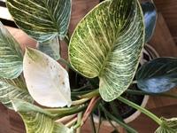 観葉植物に詳しい方ご教授願います。 フィロデンドロンバーキンを育てています。2ヶ月くらい前から徐々にシミのような茶色い斑点ができ始めて全体に広がってしまいました。以前は緑の新芽が出ていたのですが、この症状になってからは新芽も白く、そしてまだ出てくる前の状態でもシミが見られます。この子が来てから1年近く経ちますが、朝夕葉水は欠かさず毎日観察し、今まで目に見られるような虫などは確認できていません...