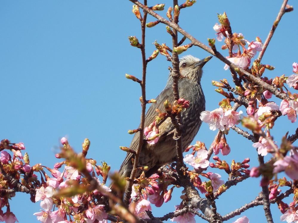 春の花の代表格である桜ですが、カワヅザクラとソメイヨシノに関してです。 桜と言えば、毎年開花予想が話題にもなる「染井吉野(ソメイヨシノ)」が何よりも有名ですが、近年は早咲きの桜である「河津桜(カ...