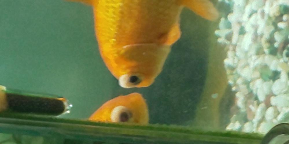 金魚のめに白いぷにぷにした物体がついてます。これはなんですか?病気ですか?