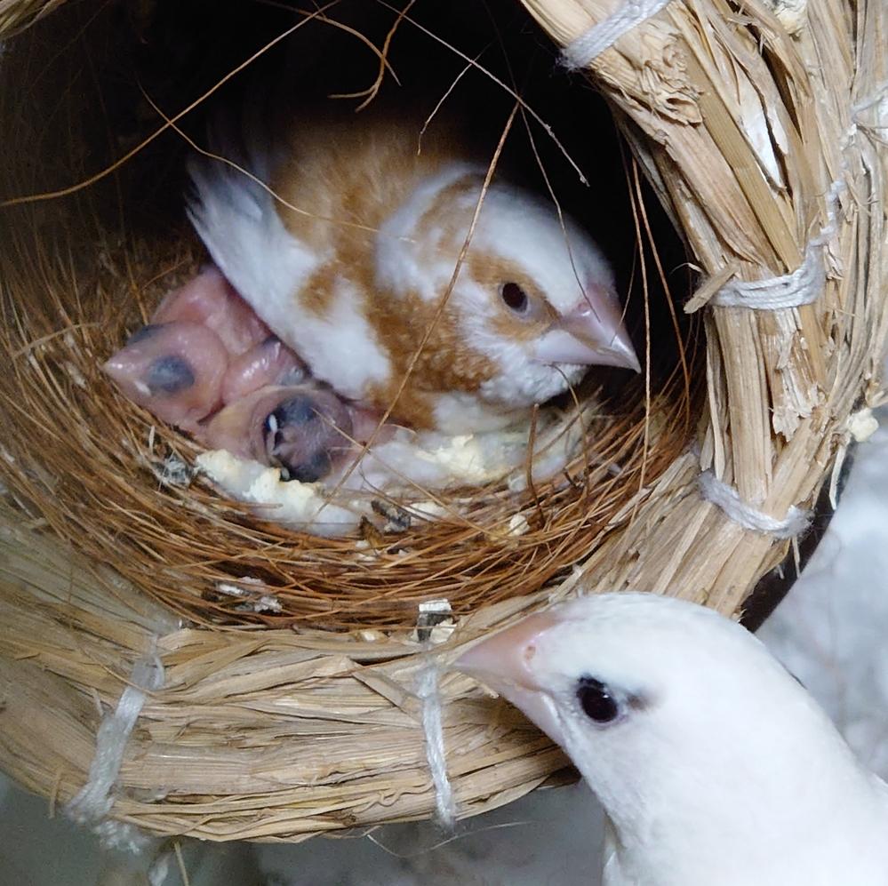 十姉妹とキンカチョウの雛の見分け方。 同じケージに十姉妹(白)のメスと十姉妹のオス(白と茶色)とキンカチョウノーマルのオスがいます。 3羽とても仲がよく同じ巣で寝てました。 十姉妹のメスに2羽...