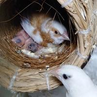 十姉妹とキンカチョウの雛の見分け方。 同じケージに十姉妹(白)のメスと十姉妹のオス(白と茶色)とキンカチョウノーマルのオスがいます。 3羽とても仲がよく同じ巣で寝てました。  十姉妹のメスに2羽でよくアピールしているのを見かけますが、メスはどちらとも言わない反応でした。  先月22日やっと卵から雛が2羽かえりました。 十姉妹のペアでせっせと世話をして、時折キンカチョウのオスも餌をあげてます。...