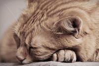 猫が豚みたいに ブーブー いびきをかいて寝ていたら おかしいですね? (ΦωΦ)