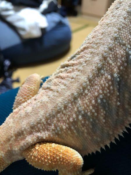 背中がこんな感じに脱皮してるのですが大丈夫でしょうか? #フトアゴヒゲトカゲ #爬虫類