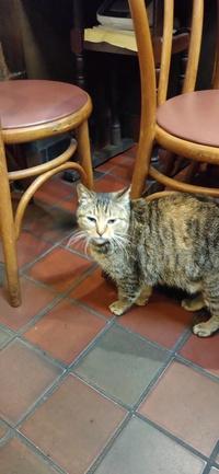 行きつけのお蕎麦屋さんに夜になると毎日くる野良猫ちゃんなのですが、なんという種類なのか分からず、、、 分かる方はいらっしゃいますか??