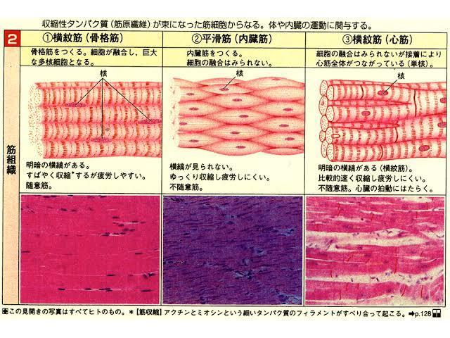 中学、生物分野です。心筋と骨格筋の図の違いがいまいちよく分かりません。 細胞融合しているといていないのが関係あると思うんですけど、この図でどのように判断すればいいか教えてください。(自分なりには...